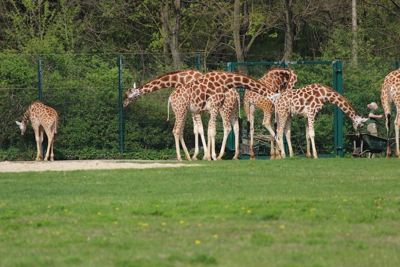tierpark-berlin-giraffen